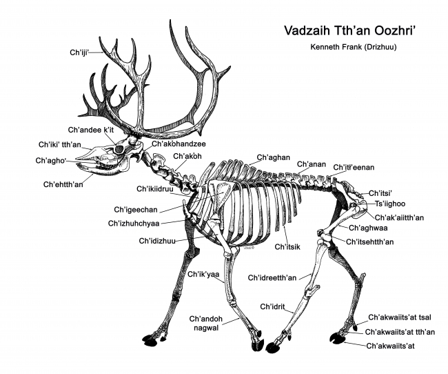 Caribou bone names in Gwich'in, by Kenneth Frank. Sketch courtesy of Lee Post.
