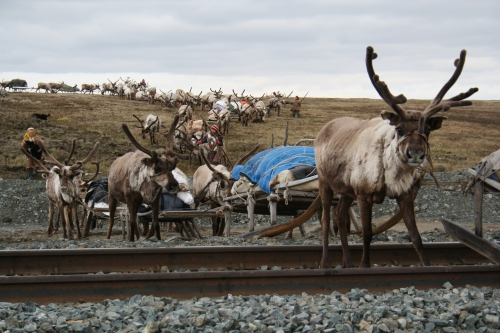 During many years the Arctic Centre has conducted field research at the Yamal Peninsula on the Siberian tundra. Reindeer herders there need to adapt to new conditions. Photo courtesy of Bruce Forbes.