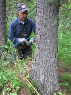 Sam Demientieff takes a core sample from a mature white spruce along the lower Yukon River in 2007. Photo courtesy of Claire Alix.