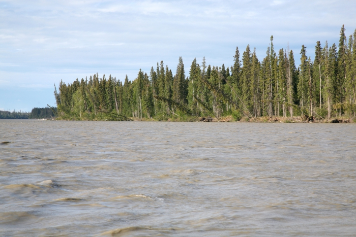 A typical stand of white spruce along the Tanana River downriver from Fairbanks, Alaska shows eroding banks due to shifting currents. Photo courtesy of Glenn Juday.