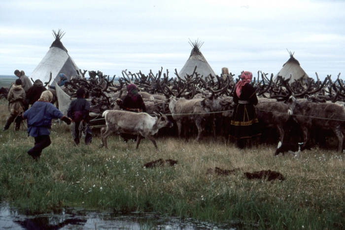 Nenets women and children herd reindeer into a temporary corral. These nomadic, pastoral herders have been in western Siberia, Russia, for over a thousand years, but changes such as industrial development, climate change and socio-economic upheaval may threaten their lifestyle. Photo courtesy of B.C. Forbes, Arctic Centre, University of Lapland.