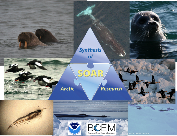The Synthesis of Arctic Research (SOAR) provides a physics-to-whales ecosystem synthesis in the Pacific Arctic. Photos courtesy of K. Stafford, J. Craighead George, G. Divoky, C. Gelfman, R. Gradinger, B. Bluhm.