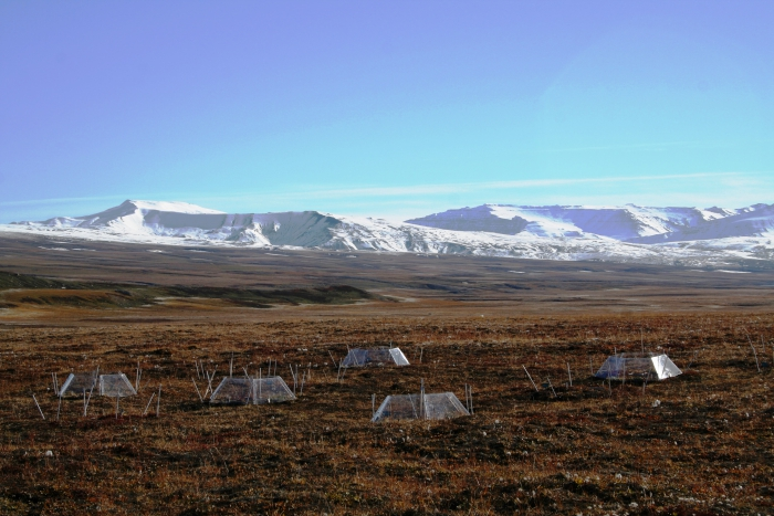 Figure 1: Open-top hexagon-shaped greenhouses have been used across the Arctic to create warmer micro-climate on plots of tundra without the use of electricity. The photo illustrates an experiment from Zackenberg, Greenland in fall colors. Image courtesy of Riikka Rinnan.