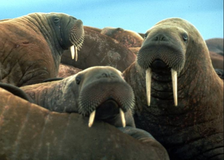 Young walruses on ice in the Chukchi Sea. Photo courtesy of Brendan Kelly.