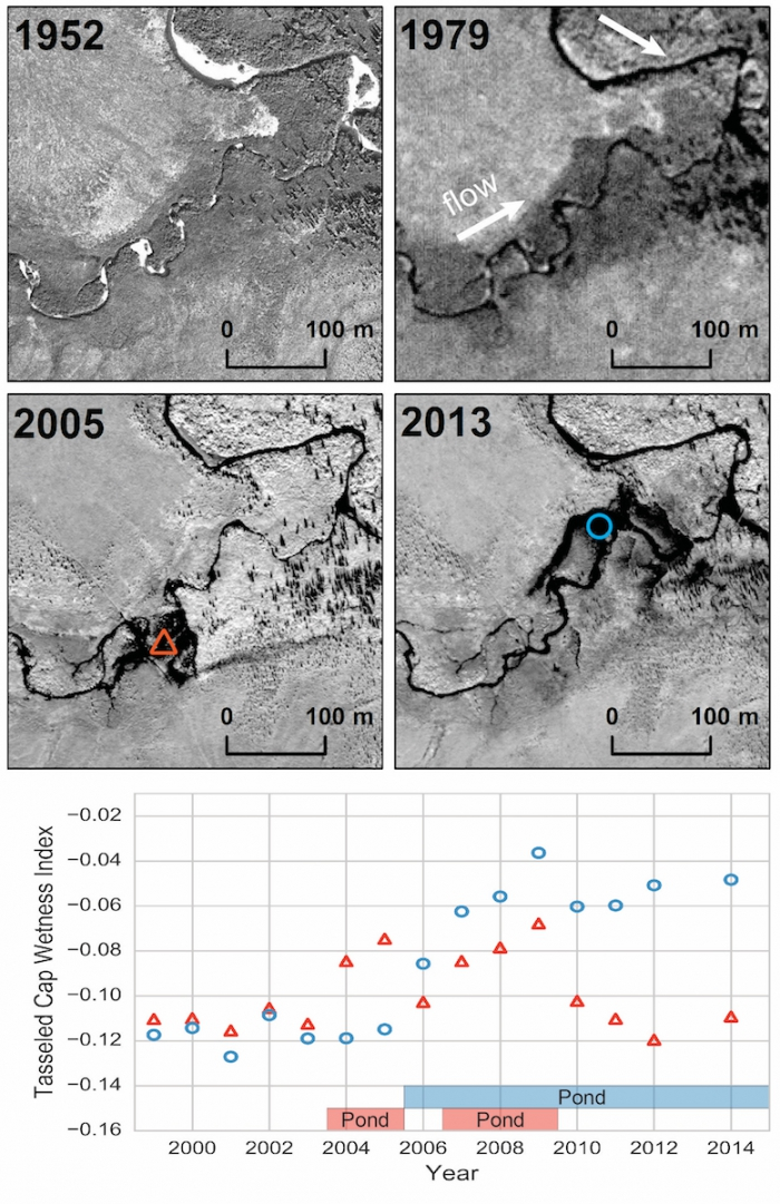 Figure 2. Time series of high-resolution imagery showing a relatively stable stream channel prior to beaver colonization evident in 2005 image. Dam construction, pond formation (2005 imagery), and pond relocation (2013 imagery) demonstrate the rapid change and disturbance imposed by beavers on Arctic stream ecosystems. Image time series consists of aerial photography (1952 and 1979), Digital Globe Inc. Quickbird imagery (2005), and Worldview 2 imagery (2013); spruce trees dot the right part of the images.
