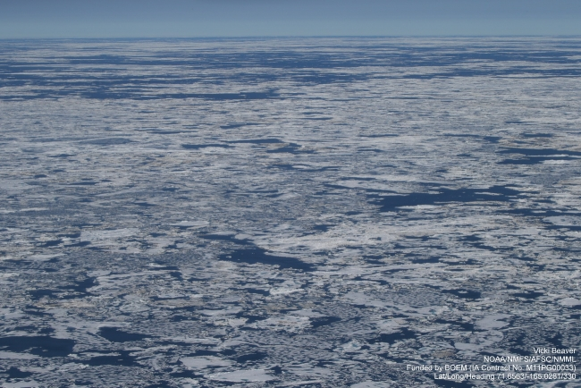 Figure 6. Ice conditions from a NOAA Marine Mammal Survey Flight, 6 August 2014 in the Chukchi Sea (71.66N 165.03W) inside the ice edge looking NW. Note the heavily ponded first-year ice with ponds penetrating through the entire ice thickness.