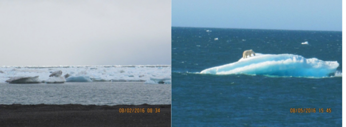 Figure 10: Photographs of lingering deformed ice along the coast of the Chukchi Sea at Barrow, Alaska on 2 August 2016, and a polar bear atop such an ice flow. Photos courtesy of Billy Adams, North Slope Borough Department of Wildlife Management.
