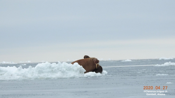 Walrus hauled out on ice near Gambell.