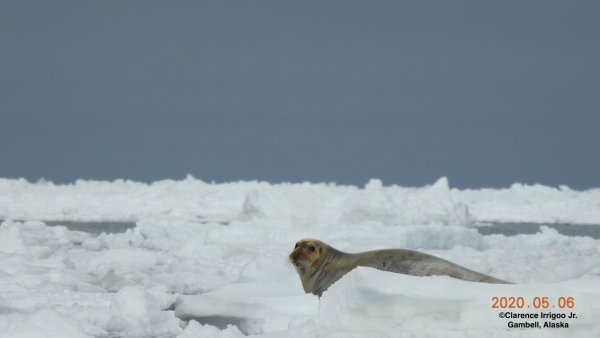 Bearded seal on ice near Gambell.