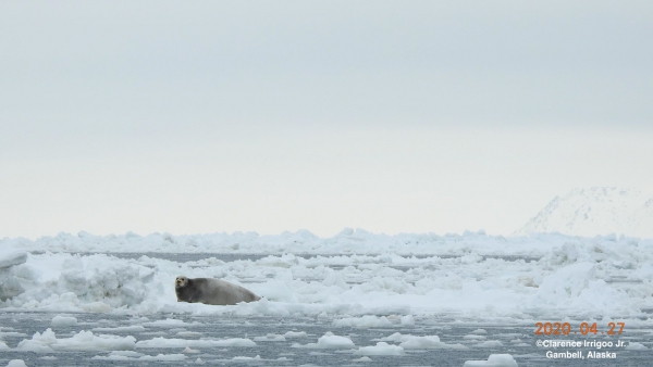 A bearded seal rests on the ice near Gambell.
