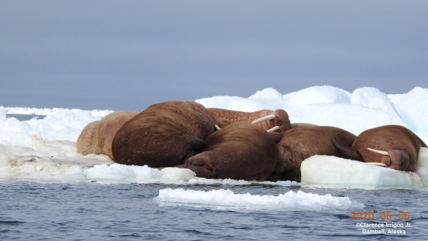 Group of walrus resting on ice near Gambell.