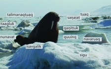 Ingigenous terms for sea ice, Weyapuk