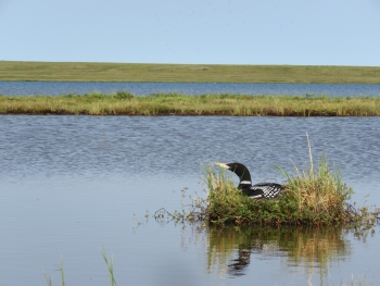 Figure 3. A nesting Yellow-billed Loon on a lake near Inigok in the upper portion of the Fish Creek Watershed. Photo courtesy of Hannah Uher-Koch.