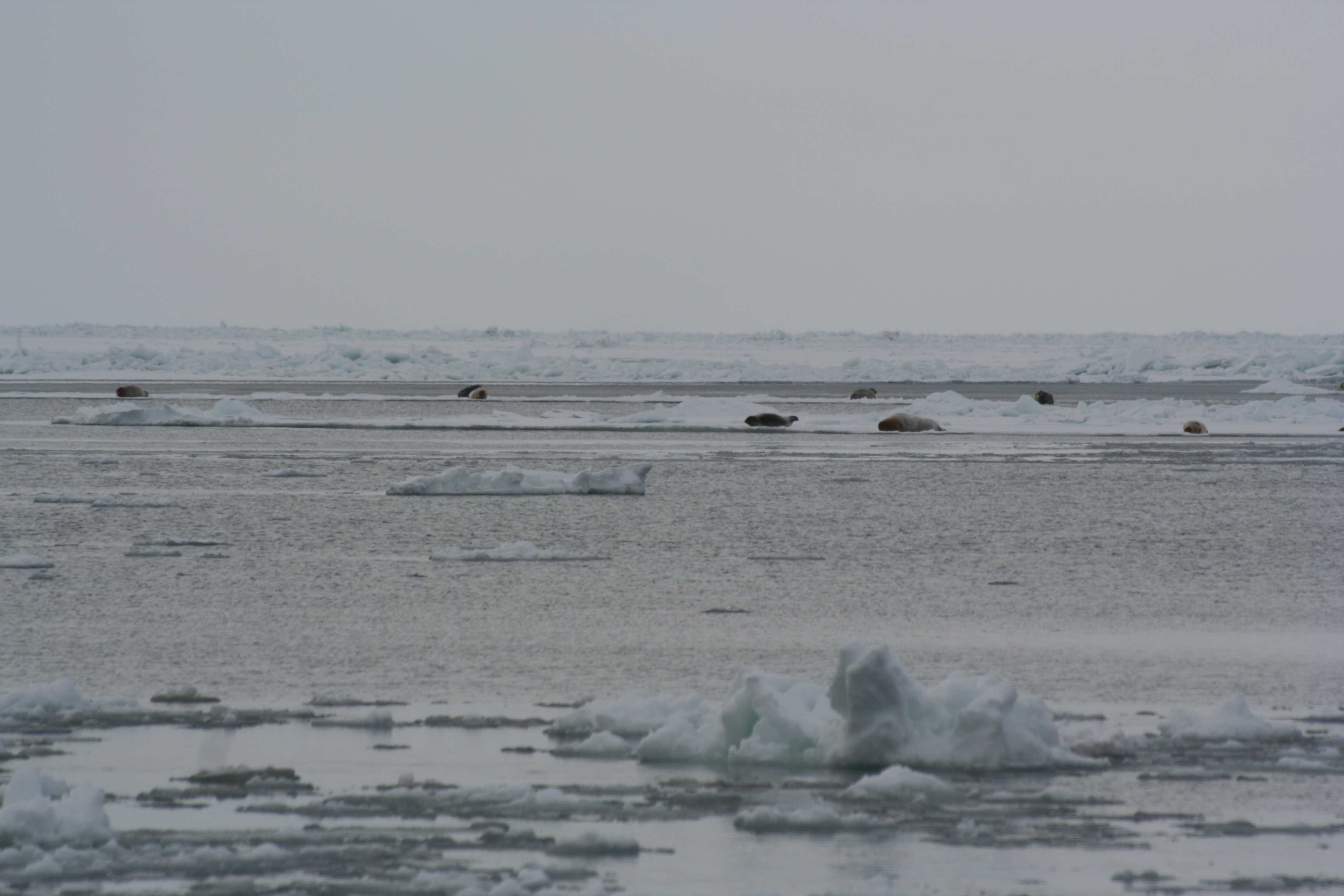 Bearded seals resting on ice