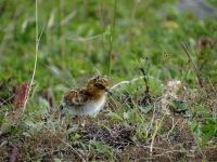 "Newly hatched spoon-billed Sandpiper ""K3"" of the 2015 generation, Chukotka, Russia 2015. Photo courtesy of Pavel Tomkovich."