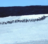 A herd of caribou crosses an ice patch. Photo courtesy of the Government of Yukon, Canada.