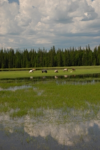 Increasing water in pasters impedes horse and cattle grazing and fodder havestin