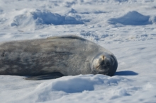 A Weddell seal pup sleeps on the ice.