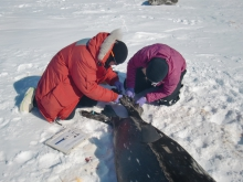 Dr. Jennifer Burns and Alex Eilers tag a Weddell seal near McMurdo Station, Antarctica.