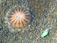 Jellyfish on the beach near Barrow, Alaska