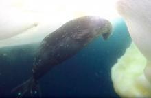 Underwater Encounter with Weddell Seals