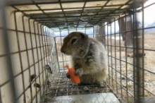 An Arctic ground squirrel eating a carrot in a cage. Photo by Andre Wille.