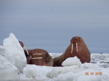 "Walrus resting on ice in late spring of 2018. On 18 May, Clarence Irrigoo Jr. reported ""Very little ice left. Boats are harvesting walrus. Some went very far to the ice—up north 48 nautical miles—and some in the water."" Photo courtesy of Clarence Irrigoo Jr., Gambell, Alaska."