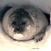 Ringed Seal, Photo by: Brendan P. Kelly