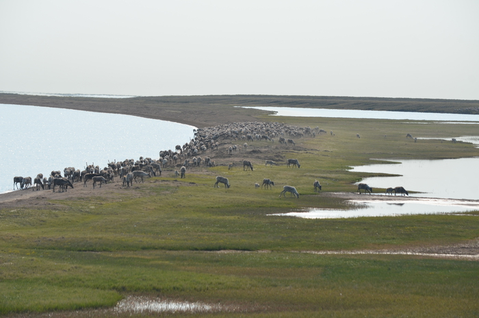 Figure 6. Members of the Teshekpuk caribou herd migrating southwest away from their calving grounds that are located to the north of the lake. Image courtesy of Benjamin M. Jones.