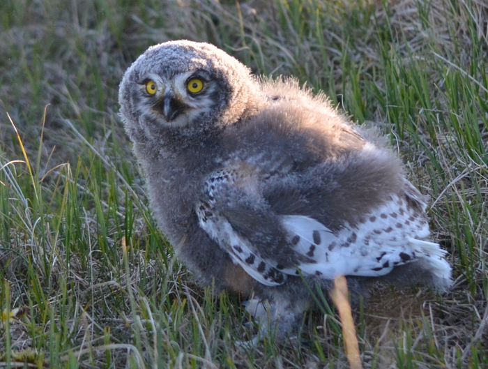 Figure 7. Snowy owl chick awaiting a meal from the parents in the wetlands north of Teshekpuk Lake. Image courtesy of Benjamin M. Jones.