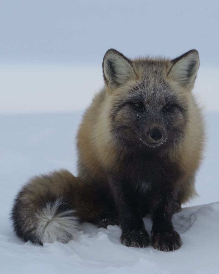 Figure 8. A red fox stops to investigate some science on the northern shores of Teshekpuk Lake during the springtime. Image courtesy of Benjamin M. Jones.