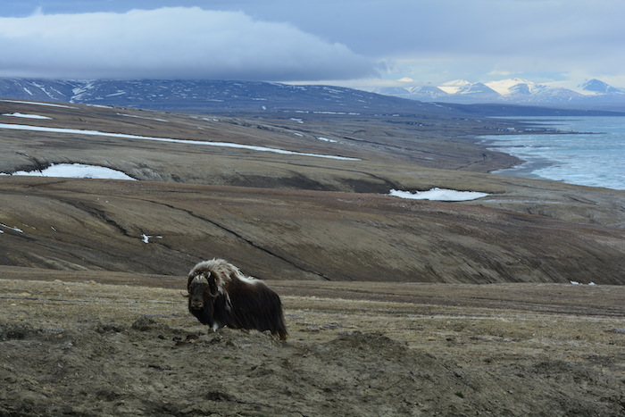 Figure 3. Late June landscape of the Eureka Sound Lowlands on Ellesmere Island, Canada. Musk ox seen in the forefront and the Eureka Weather Station and Sawtooth Mountains seen in the distance. Photo courtesy of Melissa Ward Jones.