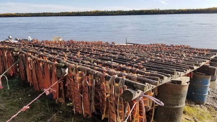 Figure 4: Salmon trying on the banks of the Yukon River in Tanana, Alaska.  Photo courtesy of Amanda Byrd.